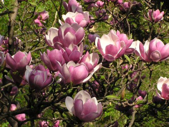 The large-flowered magnolia or tulip laurel