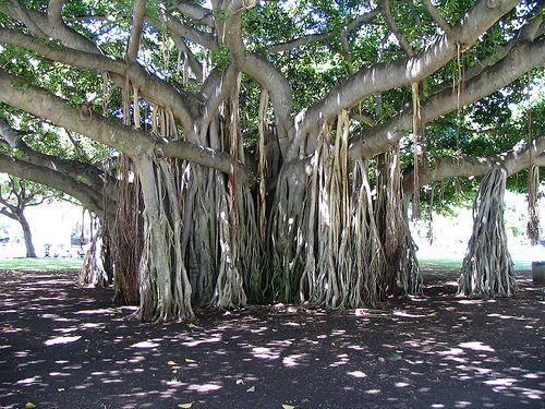 The Banyan tree, Indian national tree