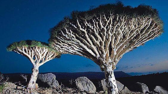 The Dragon Trees of Socotra