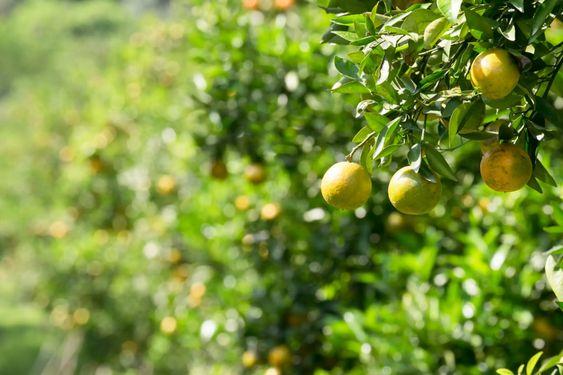 Citrus fruits tree