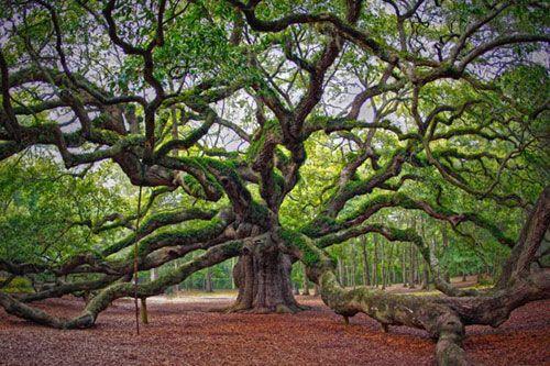 The Charleston Angel Oak